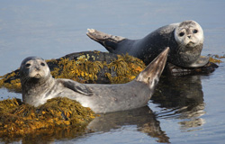 Pair of playful seals