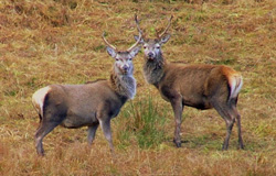 Couple of Stags