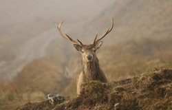 Stag close-up