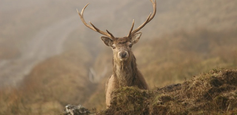 A stag with large antlers